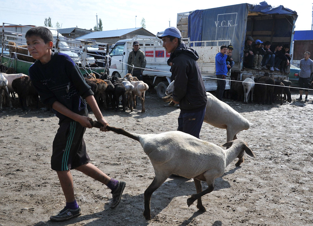 . Kyrgyz customers drag sheep they bought at the outdoors livestock market in Bishkek on October 3, 2014 on the eve of the Muslim Eid al-Adha festival, the Muslim feast of sacrifice, known locally as Kurban Bayram. VYACHESLAV OSELEDKO/AFP/Getty Images