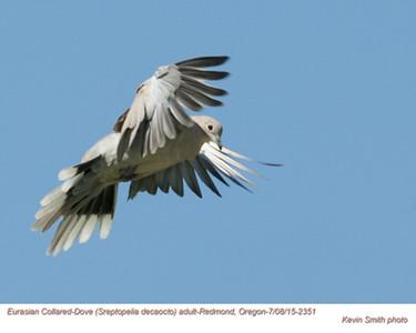 Eurasian Collared Dove A72351.jpg