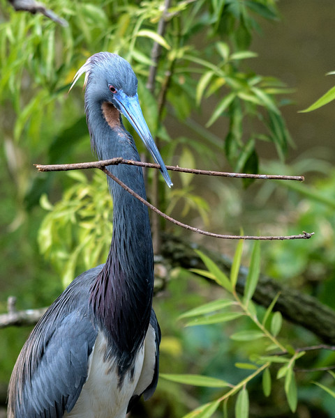 Tri Colored Heron with nesting material - breeding plumage
