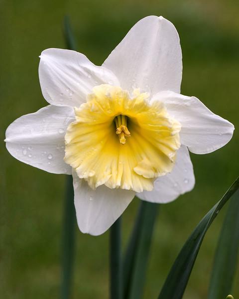 white-daffodil.jpg