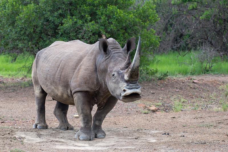 White Rhino, Ithala NP, KZN, SA, Jan-2014-2.jpg