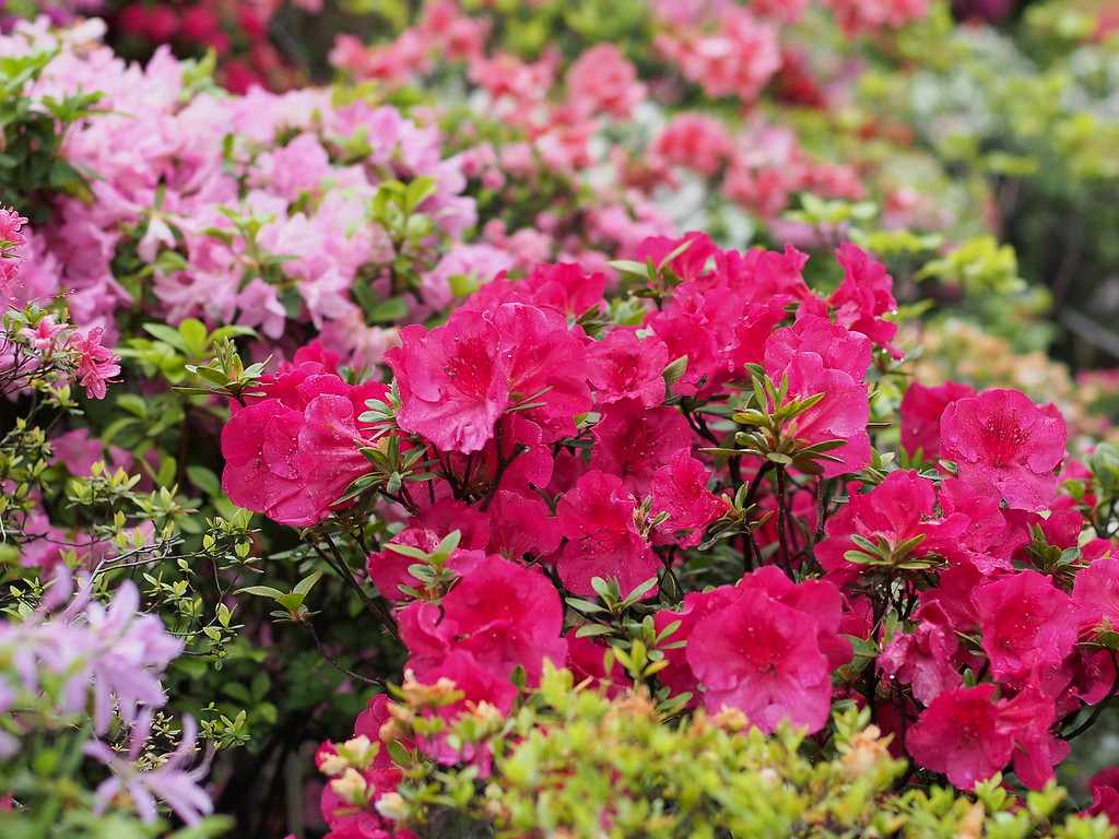 Azaleas at Nezu Shrine.