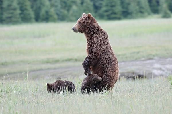 Standing Bears Alaska 2017