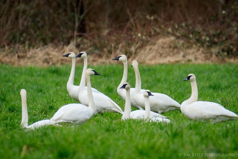 Trumpeter Swans near Fall City, Washington
