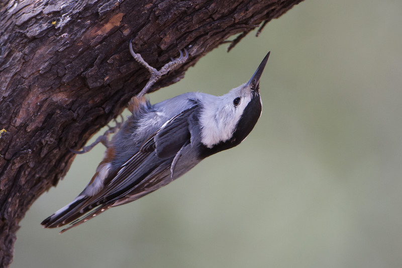 White-breasted Nuthatch - Ash Canyon B&B, Hereford, AZ, USA
