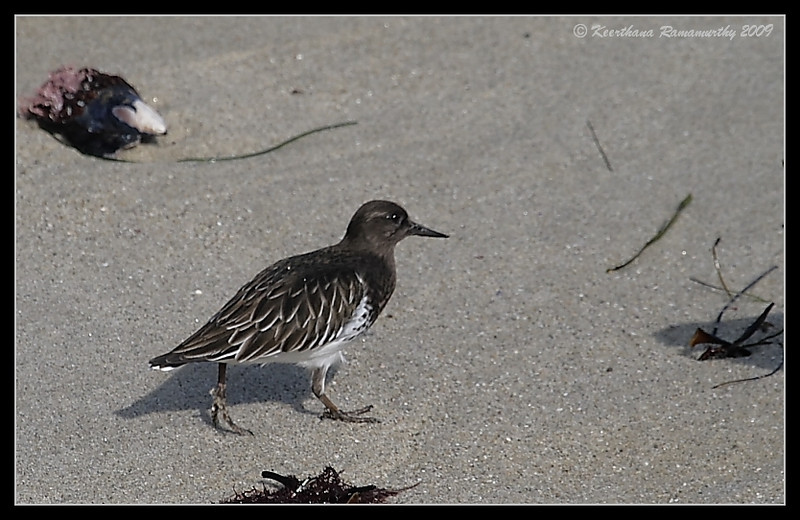 Black Turnstone, La Jolla Cove, San Diego County, California, November 2009