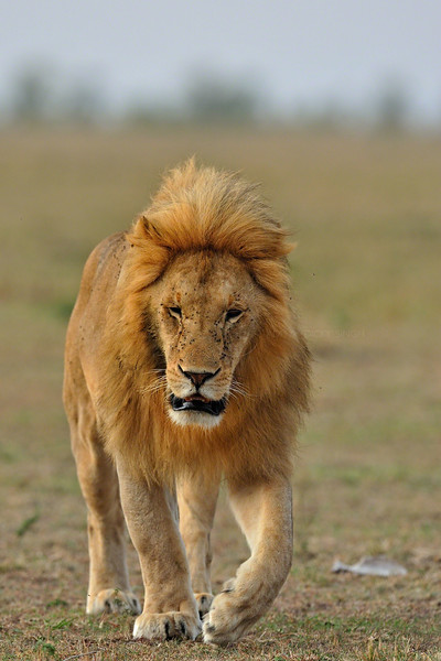 """""""Male lion"""""""