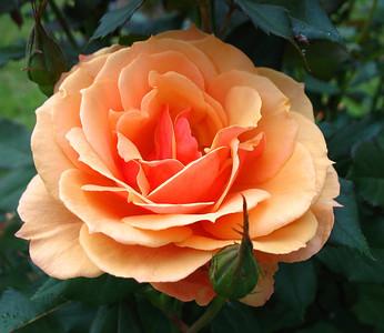 Tim's Roses
