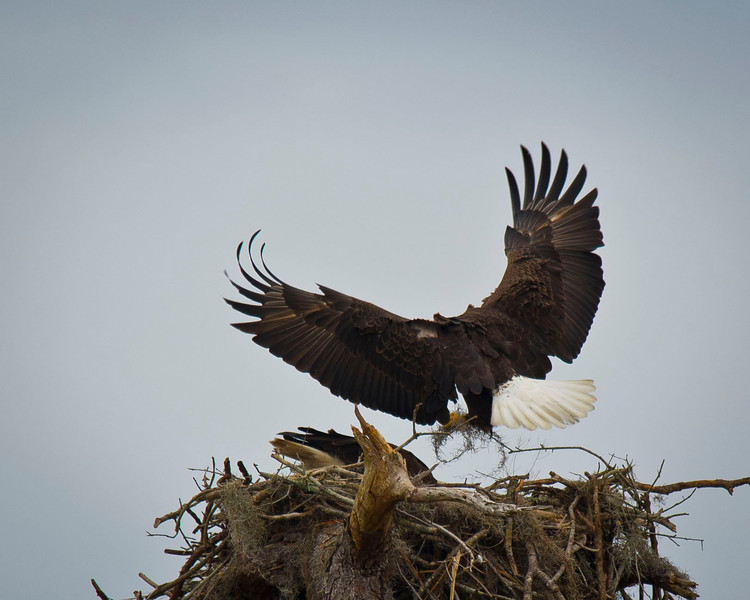 Bald Eagle Parent Tends To Nest Canoe Creek Road Florida © 2012