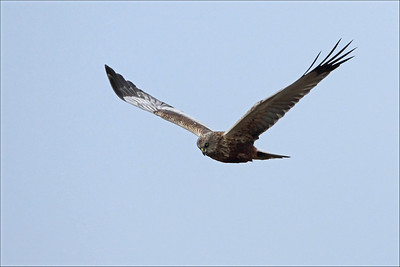 Sivhauk - Marsh-harrier