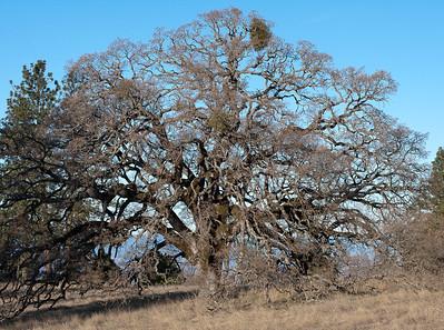 Oak-near-Erics-bench