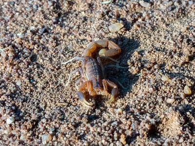 Lesser Thicktailed Scorpion (Uroplectes planimanus)