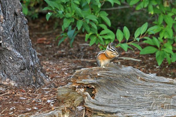 Chipmunks & Squirrels