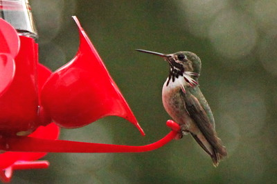 May 2009 - Hummingbirds and Garden