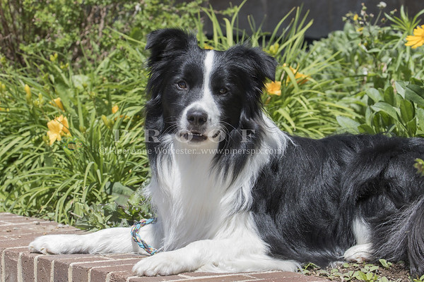 Border Collie_JH