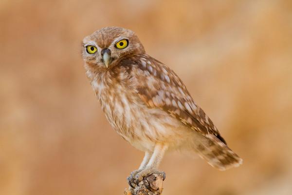 Little Owl - כוס החרבות