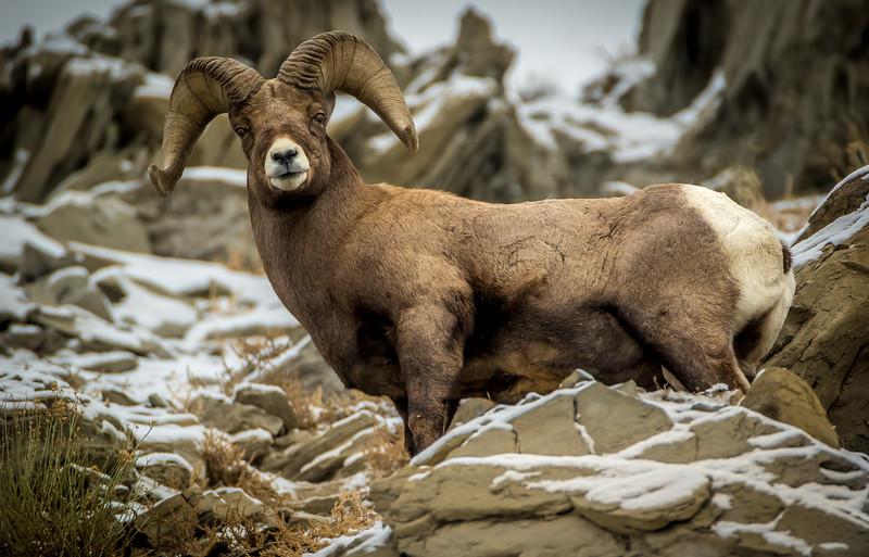 Darin Hlavinka.2.Yellowstone Ram1.jpg