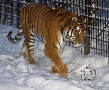 2012 AMUR TIGERS