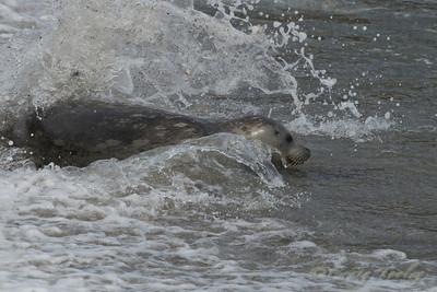 Harbor Seals 2011