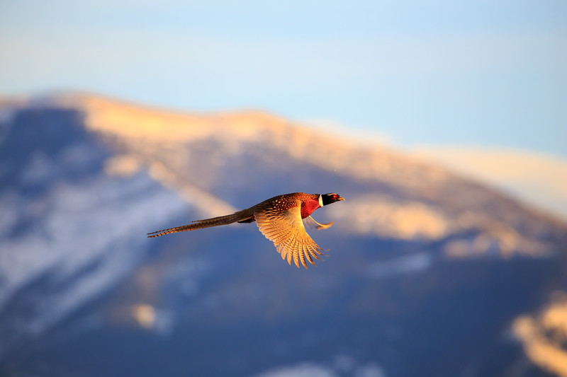 Male Pheasant in Flight.