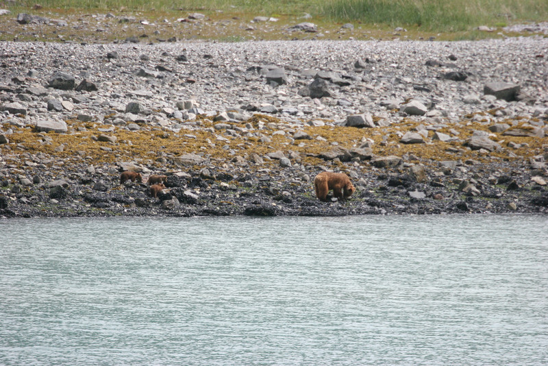 Grizzly and 3 cubs