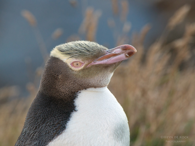 Yellow-eyed Penquin, Omarau, SI, NZ, Jan 2013.jpg