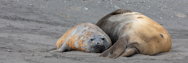 Seeelefanten - Livingston Island