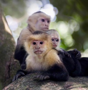 Capuchin Monkeys - Costa Rica
