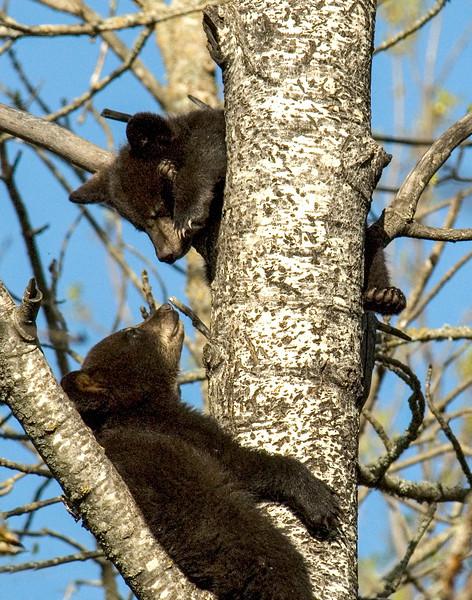 Bear Cubs-12.jpg