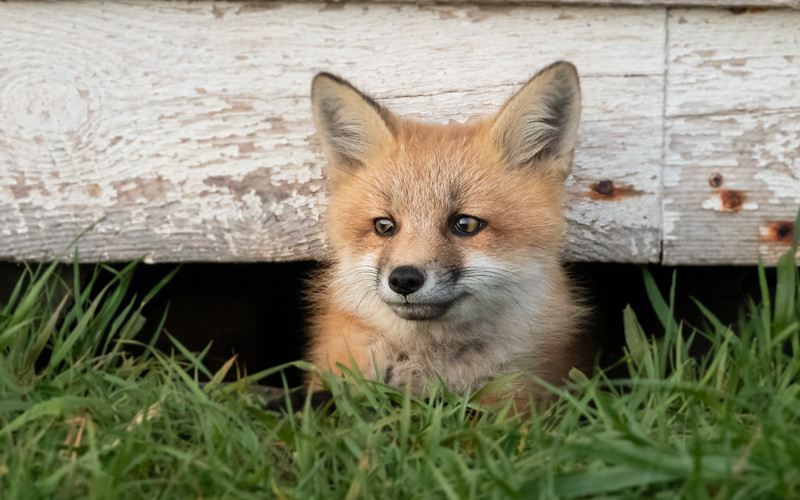 Fox kit under the shed Large  2321-.jpg