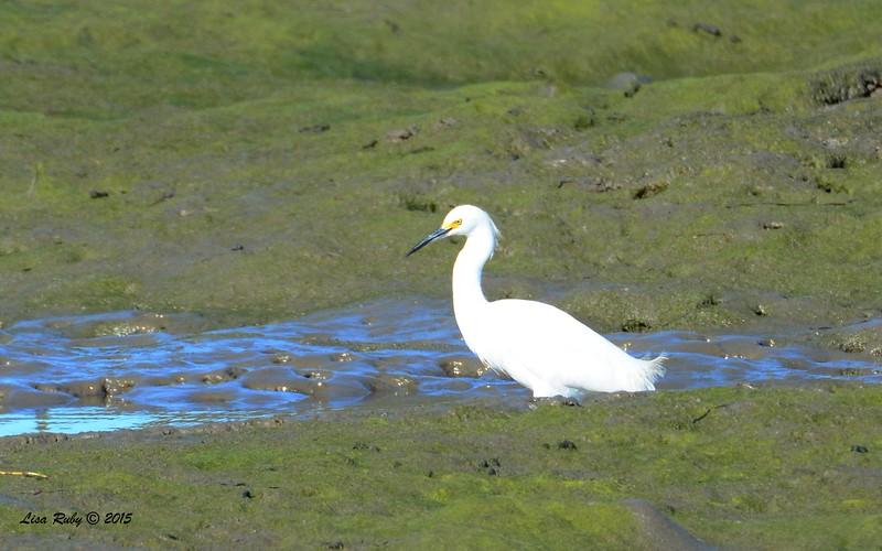 Snowy Egret -  1/17/2015 - Salt Works, Chula Vista