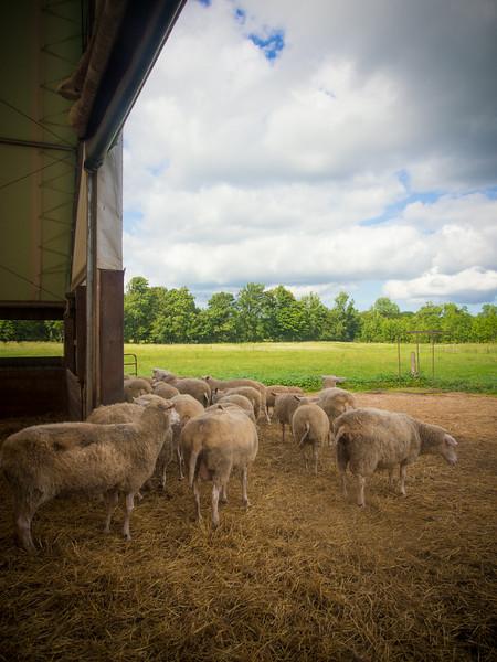 sheep at wooldrift.jpg