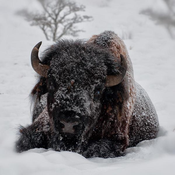 Buffalo-10.jpg