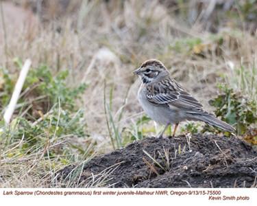 Lark Sparrow J75500.jpg