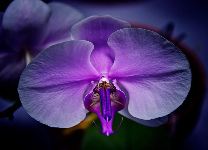 Purple orchid  Curtis  .jpg