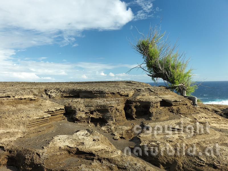 Pionierpflanze an der Vulkanküste, Capelinhos, Faial, Azoren, Portugal