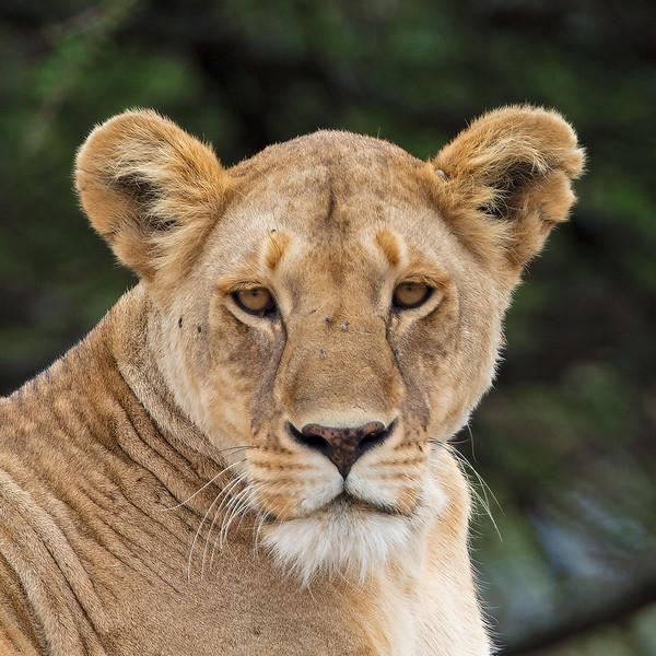 lioness portrait 2.jpg
