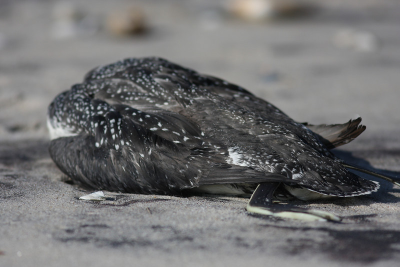 A dead loon at Cupsogue County Beach.