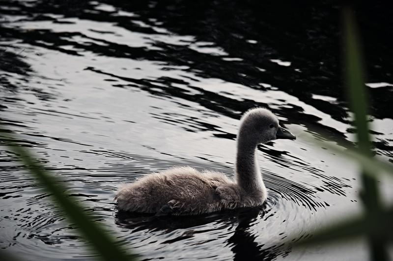 Swans_Of_Castletown039.jpg