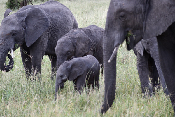 Elephants of Our Tanzania 2019