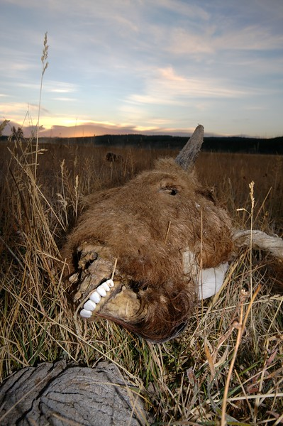 Bison carcass [September; Yellowstone National Park, Wyoming]