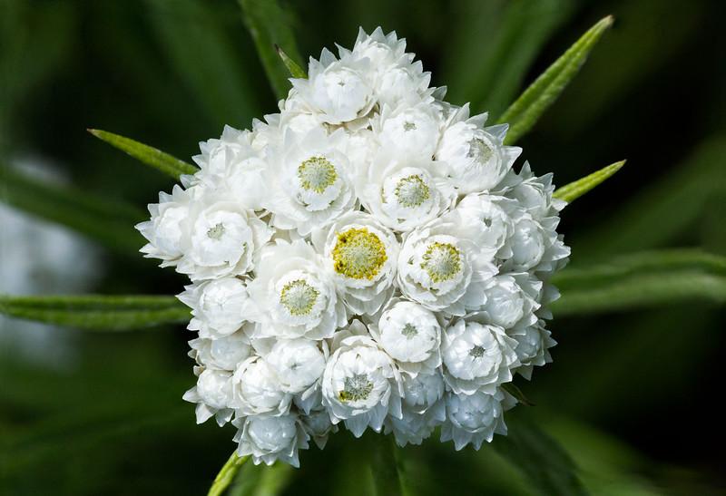 Anaphalis margaritacea (western pearly everlasting)