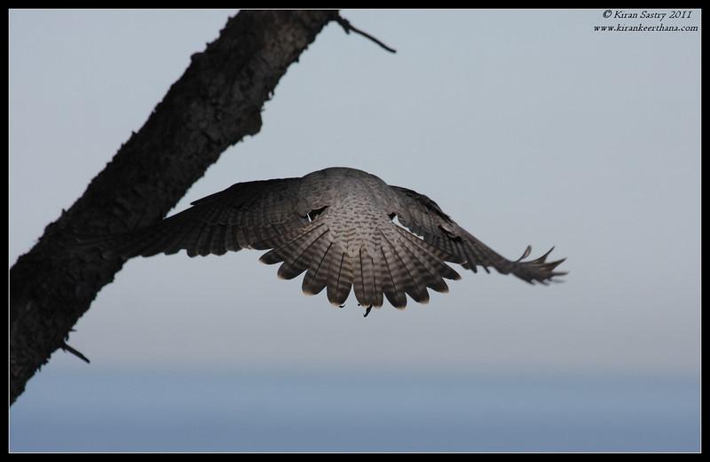 Peregrine Falcon taking off, La Jolla Cove, San Diego County, California, December 2011