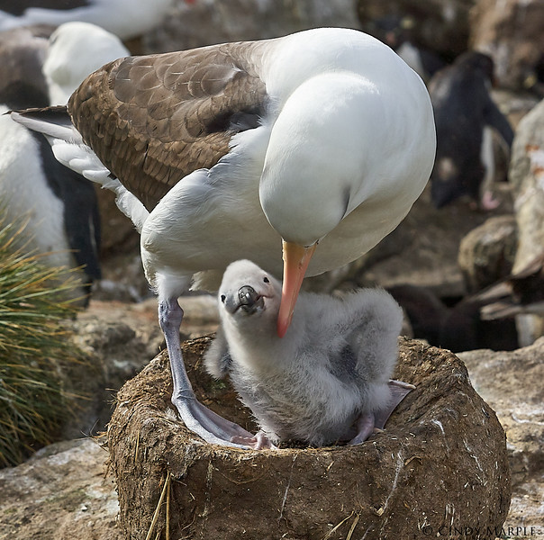 Black-browed_Albatross_12.jpg
