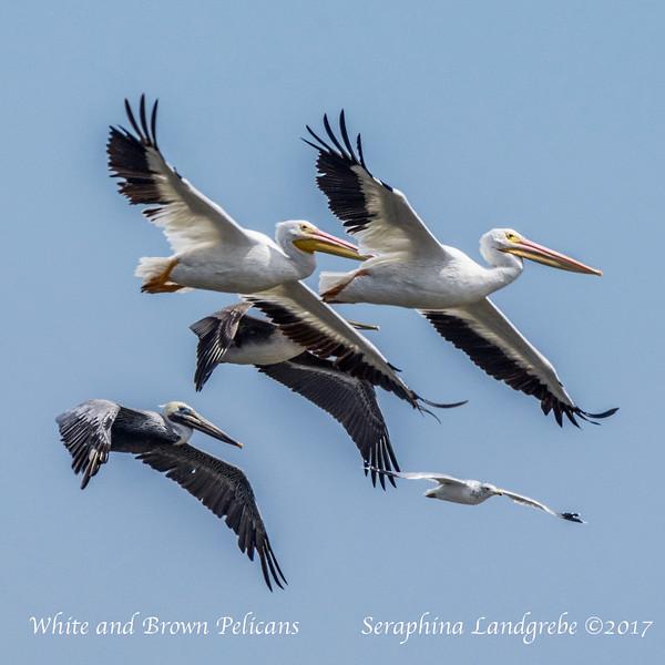 _DSC0504American White & Brown Pelicans.jpg