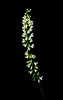 Green-leaf Rattlesnake Plantain