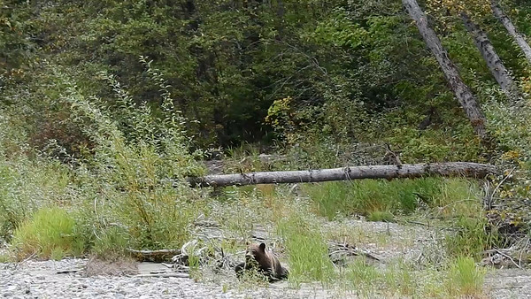 9-18-15 Videos Bella Coola Grizzly Bears