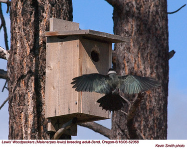 Lewis'WoodpeckerA62068.jpg