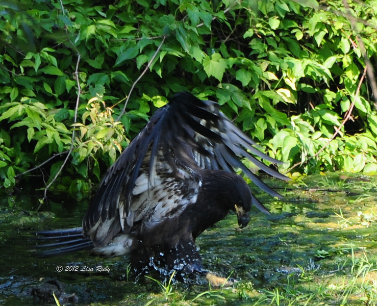 D13, Fledgling Bald Eagle, trying to nab something in the stream. Decorah Iowa.