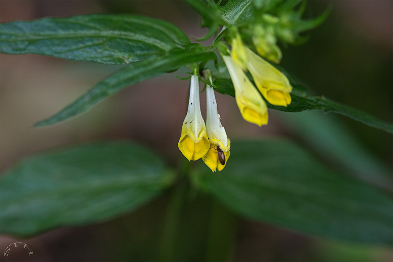 Les fleurs jaunes sont groupées par paire, et sont penchées dans la même direction. Deux lèvres fermées forment un tube  ---------- Juin : deuxième semaine Tellin > Grupont > Bord d'un chemin forestier : https://mapsengine.google.com/map/edit?mid=z8asQTxTvzYQ.kZcd9B9qn2-Y ----------